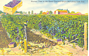 Harvest of Concord Grapes Lake Erie NY Postcard p16932 (Image1)