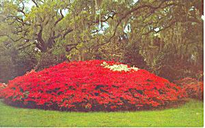 Azalea Mound Orton Plantation NC Postcard p17565 (Image1)