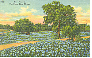 Bluebonnets State Flower of Texas Postcard p18058 (Image1)