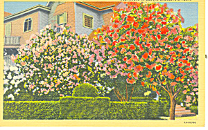 Oleanders in Bloom, Galveston,Texas Postcard (Image1)