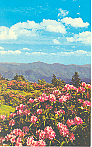 Rhododendron Roan Mountain NC Postcard p18682 (Image1)