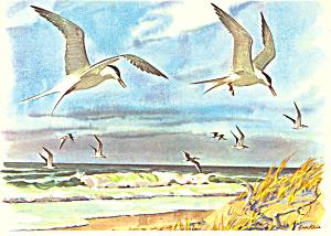 Terns and Skimmers Gene Klebe Postcard p18898 (Image1)