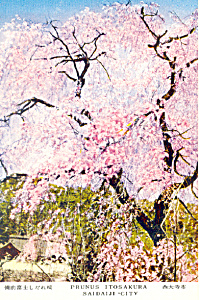 Prunus Itosakura, Saidiji City, Japan Postcard (Image1)