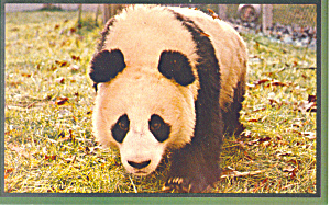 Panda,national Zoological Park Washington Dc Postcard P19159