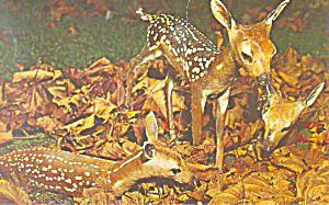 Three Spotted Fawns Postcard p19379 (Image1)