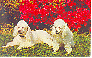 French Poodles, Suzette & Pepper,Postcard (Image1)