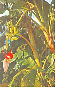 Banana Tree Growing in Florida p19423 (Image1)