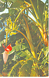 Banana Tree Florida p19445 (Image1)