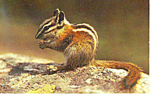 The Chipmunk Postcard P19450
