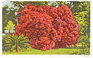 Azalea in Full Bloom Postcard (Image1)