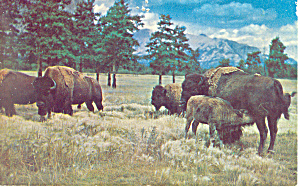 Buffalo At Custer State Park Postcard P19914