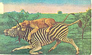 Lioness Killing a Zebra (Image1)