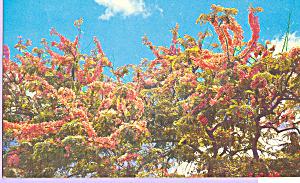 Pine Shower Trees Hawaii p21621 (Image1)