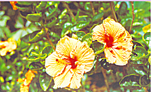 Hibiscus Postcard p22055 (Image1)