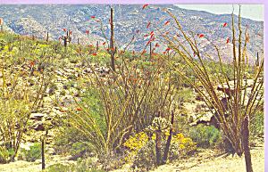 Graceful Ocotillo Cactus Postcard p22202 (Image1)