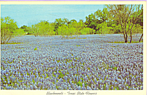 Bluebonnet State Flower Of Texas P22224