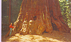 Washington Tree Sequoia National Park CA p22297 (Image1)