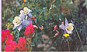 Columbine Aquilegia Coerulia,Colorado State Flower (Image1)