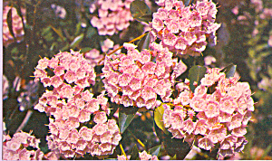 Mountain Laurel,Pennsylvania State Flower (Image1)