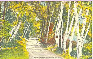 White Birches in the Poconos PA p22700 (Image1)