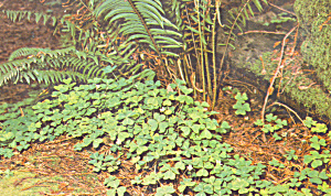Redwood Sorrel, Muir Woods National Monument (Image1)