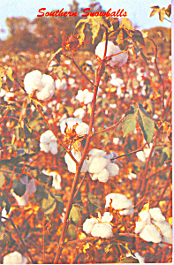 Southern Snowballs Cotton Field Postcard P23345