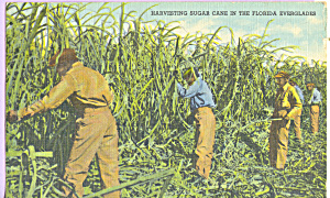 Harvesting Sugar Cane Florida Everglades P23403