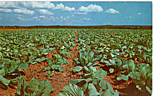 A Cabbage Field Postcard p23536 (Image1)
