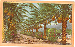 Date Palms in California Postcard p23960 (Image1)