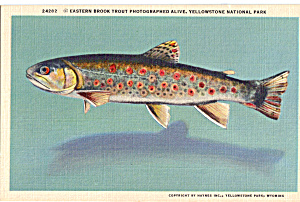 Eastern Brook Trout, Yellowstone National Park (Image1)