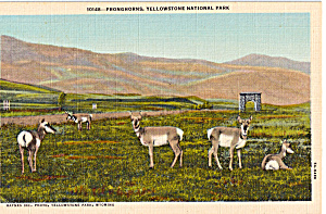 Pronghorns Yellowstone National Park WY p24201 (Image1)