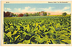 Tobacco Field in Old Kentucky Postcard p24314 (Image1)