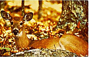 White Tail Deer Shenandoah National Park VA p24878 (Image1)