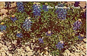 Blue Bonnets of Texas (Image1)