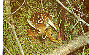 A Wee Fawn Resting (Image1)