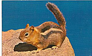 Chipmunk Postcard p24965 (Image1)