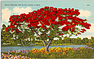 Royal Poinciana In Full Bloom Florida P25244