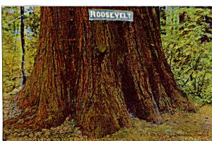Roosevelt Redwood in Big Tree Grove Santa Cruz CA p25486 (Image1)