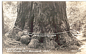 Biggest Tree in Muir Woods National Monument CA p25489 (Image1)