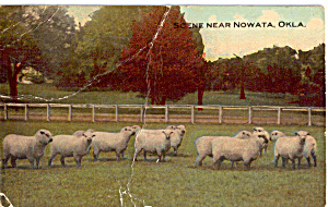 Scene Near Nowata OK Flock of Sheep Postcard p25603 (Image1)