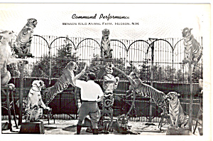 Command Performance Tigers Postcard p25673 (Image1)