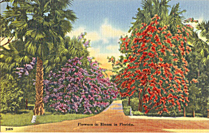 Flowers in Bloom in Florida Postcard p25751 (Image1)