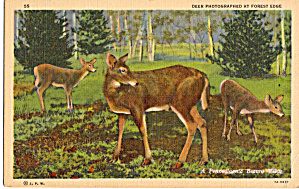Deer at Forest Edge (Image1)