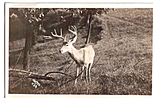 Deer in Forest (Image1)