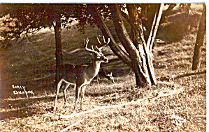 Deer Early Evening Postcard p26351 (Image1)
