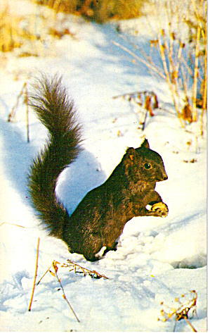 Black Squrrel in Mid Winter (Image1)