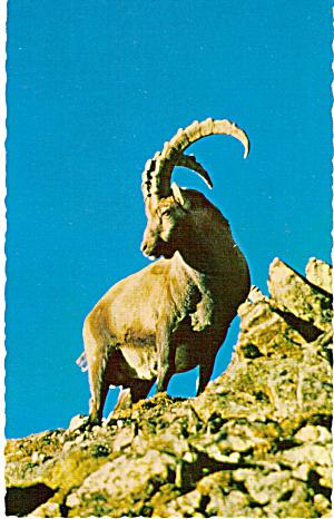 Steinbock Postcard p26379 (Image1)