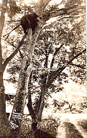 Black Bear in Tree (Image1)