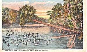 Wild Ducks on a Florida River p26635 (Image1)