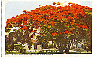 A Royal Poinciana Tree In Full Bloom In Florida Postcard P26636
